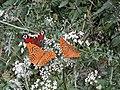 Motyle Rudawski Park Krajobrazowy AL02.jpg