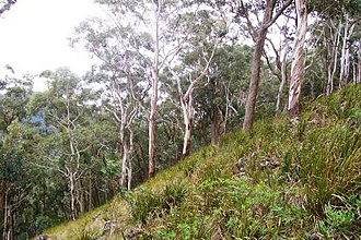 Mount Royal Range - Image: Mount Royal eucalyptus forest