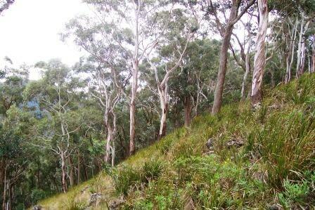 Mount Royal - eucalyptus forest