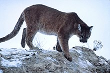 Mountain-lion-01623.jpg