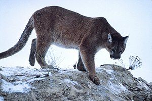 Species - A cougar, mountain lion, panther, or puma, among other common names: its scientific name is Puma concolor.