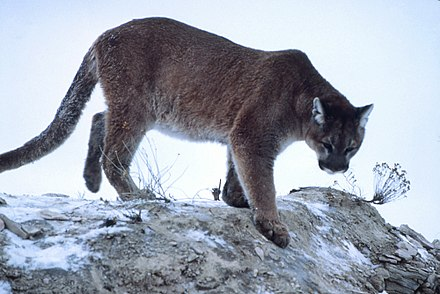 A cougar, mountain lion, panther, or puma, among other common names: its scientific name is Puma concolor. Mountain-lion-01623.jpg