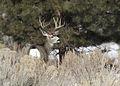 Mule Deer Elkhorn 3 myatt odfw (7591217912).jpg