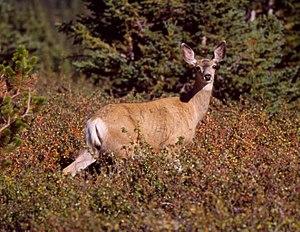 300px Mule Deer on Clearwater 1