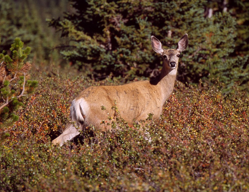 http://upload.wikimedia.org/wikipedia/commons/thumb/7/7c/Mule_Deer_on_Clearwater_1.jpg/994px-Mule_Deer_on_Clearwater_1.jpg