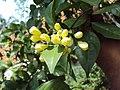 Murraya paniculata 04.JPG