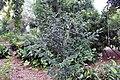 Murraya paniculata 11zz.jpg