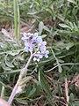 Myosotis stenophylla sl4.jpg