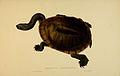 N214 Sowerby & Lear 1872 (chelodina longicollis).jpg