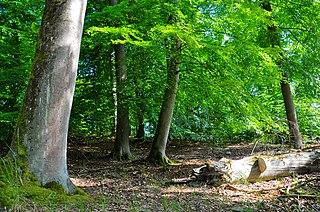 Deutsch: Müritz-Nationalpark, Ostteil Serrahn: Im Serrahner Buchen-Altwald findet sich eine große Menge Totholz. (source: http://commons.wikimedia.org/wiki/File:NP_M%C3%BCritz_Teilgebiet_Serrahn-5.JPG)