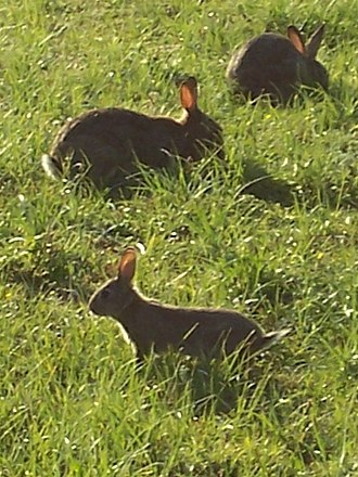 European rabbit - Group of rabbits grazing