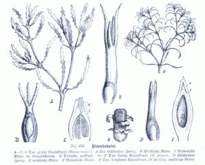 Illustration of Najas species: A – C Large mermaid (Najas marina) D – F Small mermaid (Najas minor) H Flexible mermaid (Najas flexilis, flower)