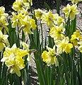 Narcissus 'Best Seller'.jpg