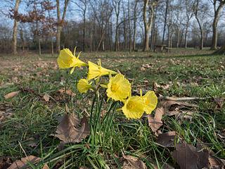 <i>Narcissus bulbocodium</i> Species of flowering plants in the family Amaryllidaceae