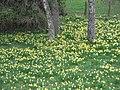 Narcissus pseudonarcissus (habitat).jpg