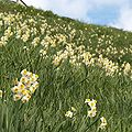 Narcissus tazetta L. var chinensis Roemer.jpg