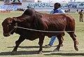 Nari-master-bull.jpg