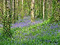 Narrow Water Bluebells - geograph.org.uk - 1420536.jpg