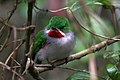 Narrow billed tody 4.jpg