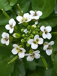 Closeup photograph of watercress inflorescence with several white flowers and many flower buds