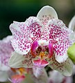 National Orchid Garden (2) (4033325143).jpg