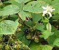 National colection of Rubus, Poznan, Dendrological Garden (Rubus henrici egonis) (4).JPG