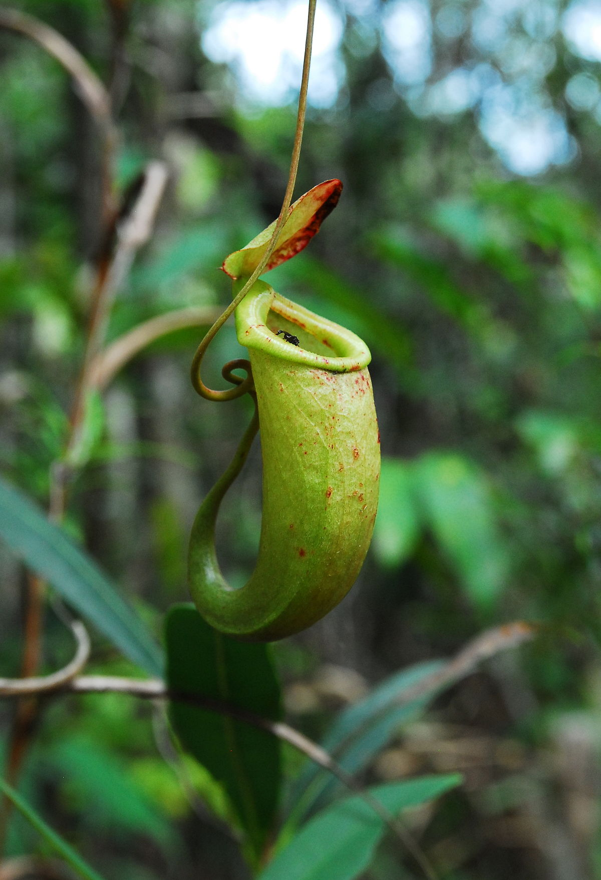 Nepenthes Bellii Wikipedia
