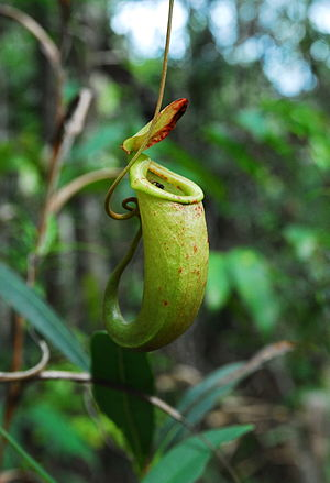 Nepenthes bellii - An upper pitcher of N. bellii from Dinagat