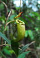 Nepenthes bellii upper pitcher.jpg