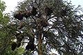 Nests of Psittacula krameri - Parc Ten Reuken - Watermael Boitsfort 2017-06 --1.jpg