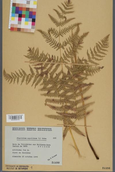 File:Neuchâtel Herbarium - Pteridium aquilinum - NEU000000758.tiff
