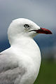 New Zealand Red-Billed Gull.jpg