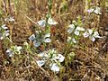 Nigella arvensis sl21.jpg