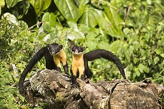 Nilgiri marten - Two Nilgiri martens in their natural habitat.