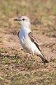Noivinha-branca (Xolmis velatus) no Parque Nacional da Serra da Canastra.jpg