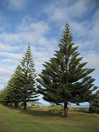 Araucaria heterophylla - Young Norfolk Island pines