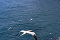 Northern Gannets St Mary Cape Newfoundland (40650831864).jpg