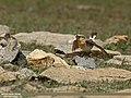 Northern Wheatear (Oenanthe oenanthe) (27797395320).jpg