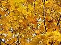 Norway Maple (31272225106).jpg