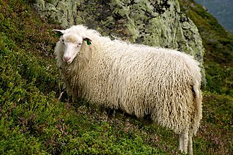 Spælsau - A Spælsau in Norway