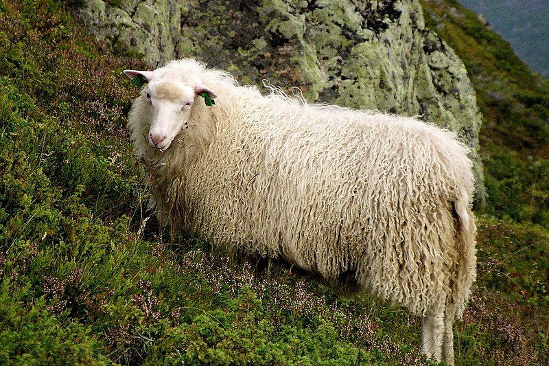 File:Norway sheep portrait.jpg
