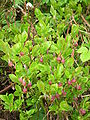 Norwegian bilberry flowers.JPG
