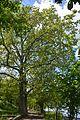 Nova Kahovka Centennial Sycamores 06 (YDS 0254).jpg