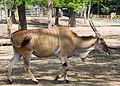 Nyíregyháza Zoo, Taurotragus oryx-2.jpg