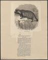 Nyctereutes procyonoides - 1874 - Print - Iconographia Zoologica - Special Collections University of Amsterdam - UBA01 IZ22200305.tif