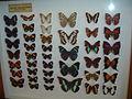 Nymphalidae8.jpg