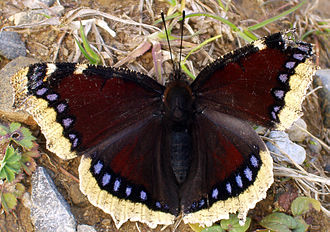 Camberwell - Camberwell beauty butterfly