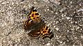 Nymphalis vaualbum - Nature Conservation-001-073-g028.jpg