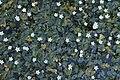 Nymphoides hydrophylla 7898.jpg