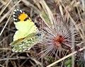ORANGETIP, PIMA DESERT (Anthocharis cethura pima) (1-18 14) circulo montana, patagonia lake ranch estates, scc, az -06 (12621115485).jpg